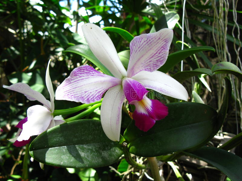 Estriata semi alba do violacea de Cattleya imagem de stock royalty free