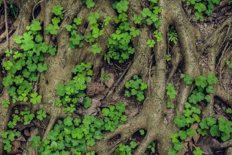 Estructura compleja de raíces de un árbol conífero fotografía de archivo libre de regalías