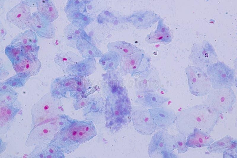Estructura de célula Squamous de la célula epitelial de la opinión inferior humana del microscopio para la educación en laborator fotografía de archivo libre de regalías