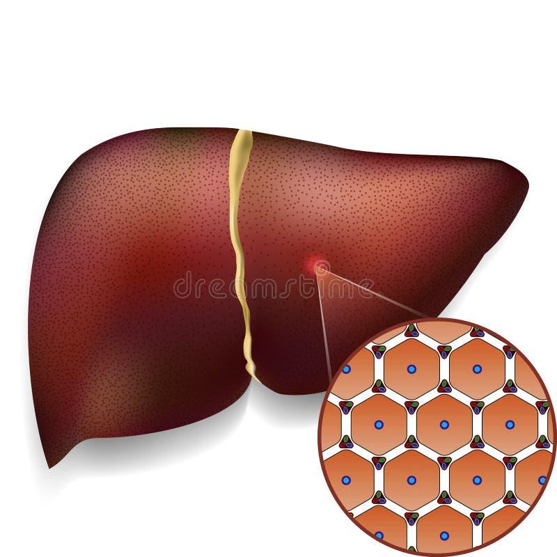 Estructura de células normal de hígado ilustración del vector