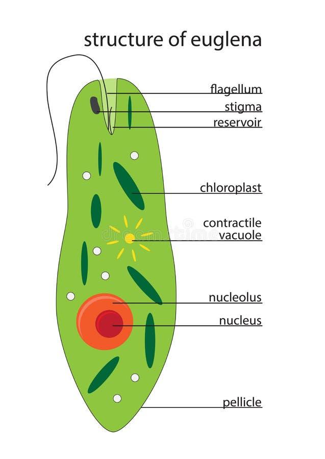 Estructura de la Euglena del vector stock de ilustración