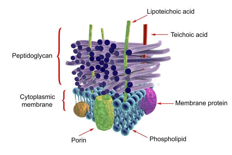 Estructura de la pared celular grampositiva de las bacterias ilustración del vector