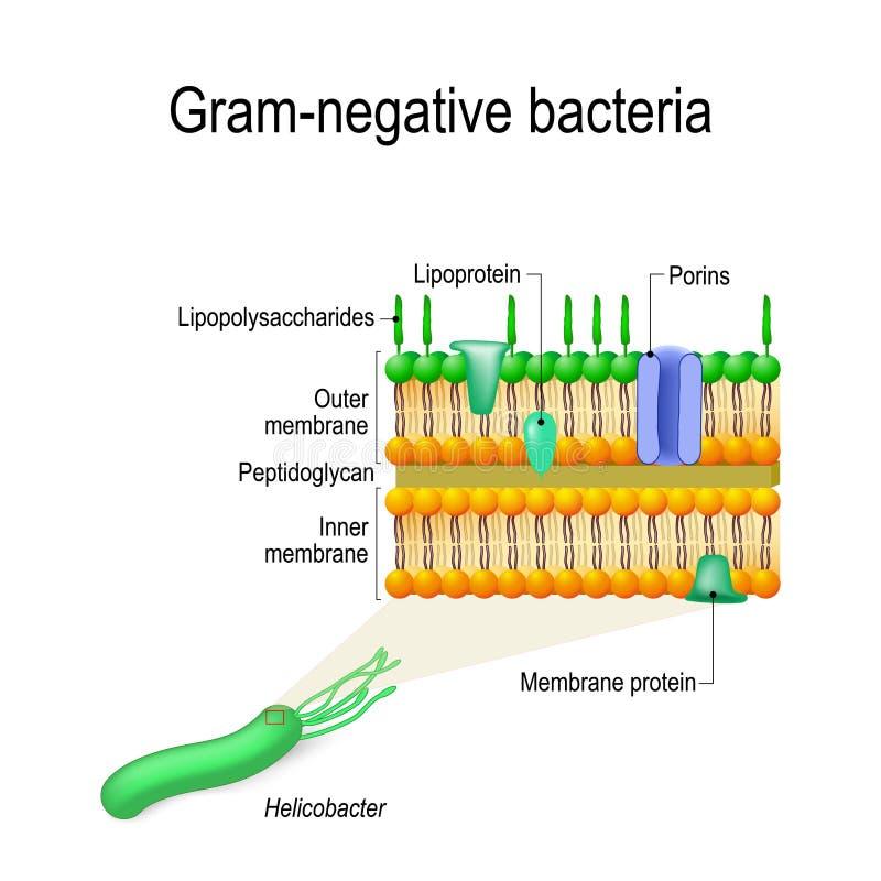 Estructura de la pared celular de las bacterias gramnegativas por ejemplo Helico stock de ilustración