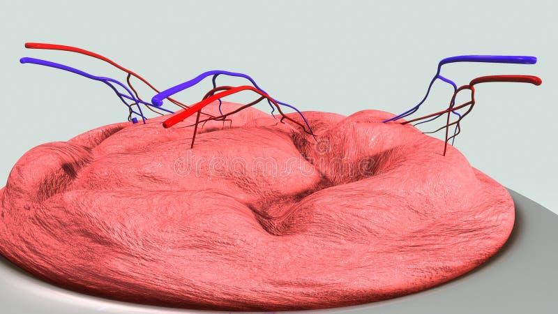 Estructura de la placenta ilustración del vector
