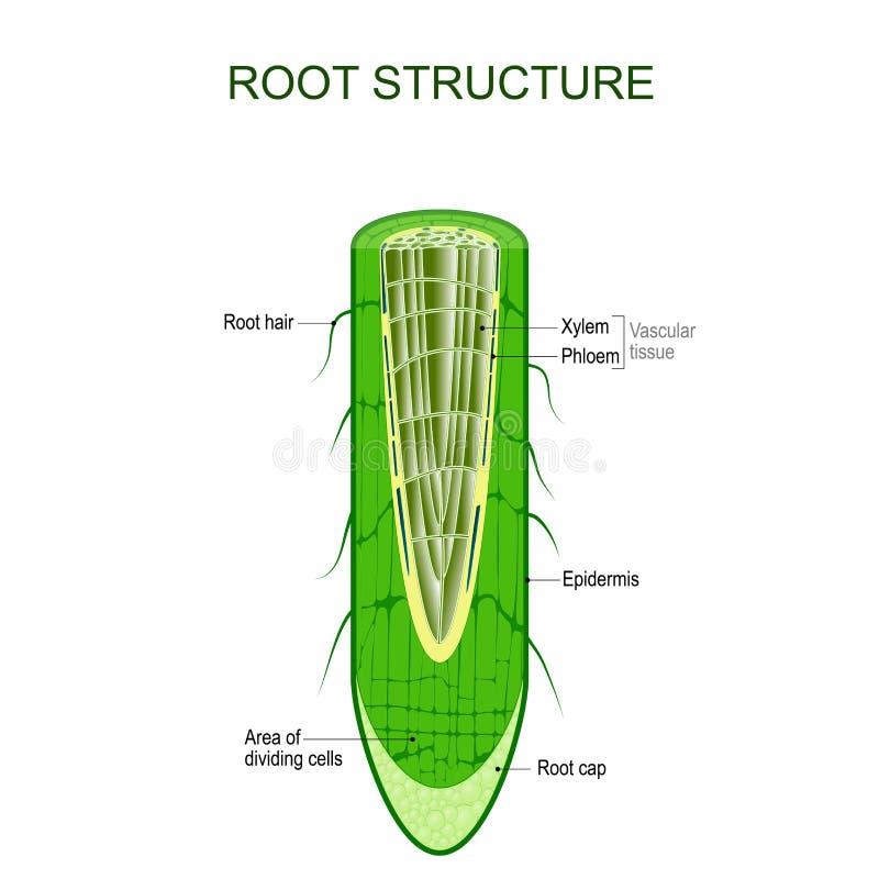 Estructura de la raíz Anatomía de la planta stock de ilustración
