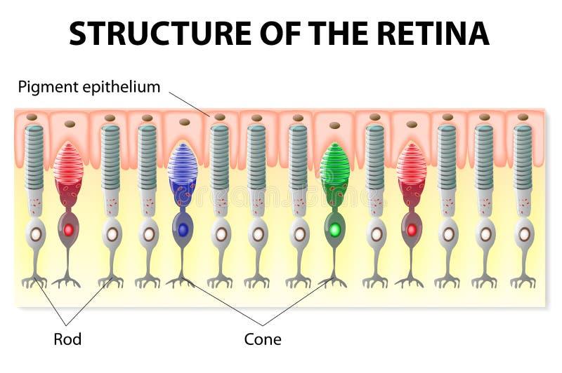 Estructura de la retina ilustración del vector