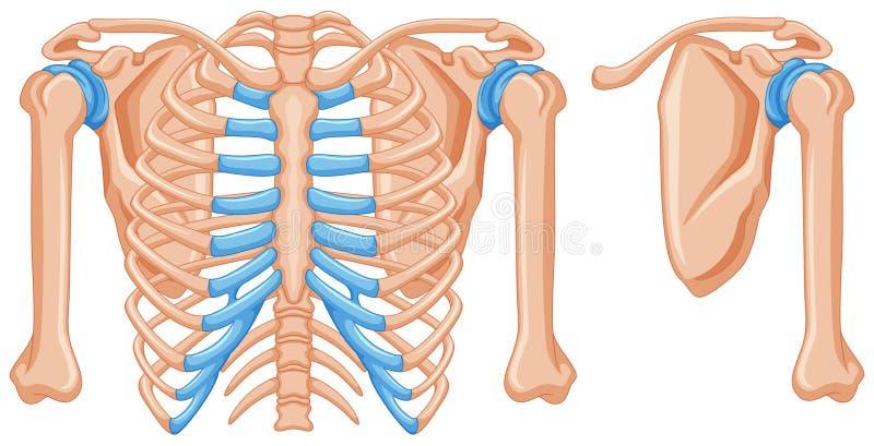 Estructura De Los Huesos De Hombro Ilustración del Vector ...