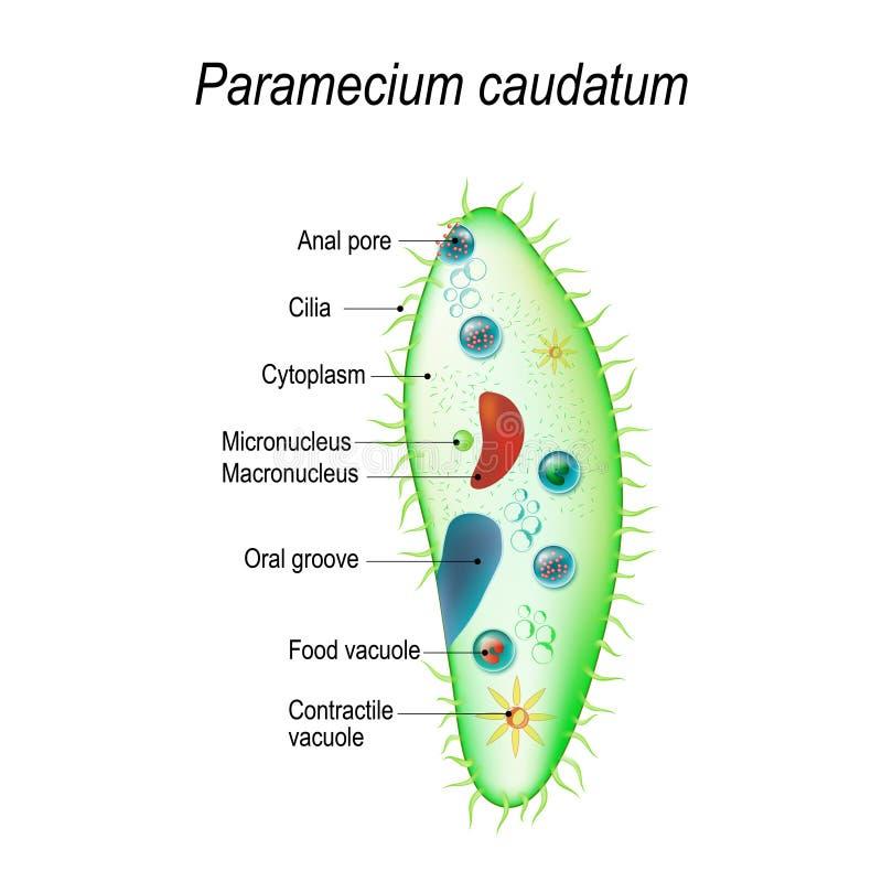 Estructura de un caudatum del paramecium ilustración del vector