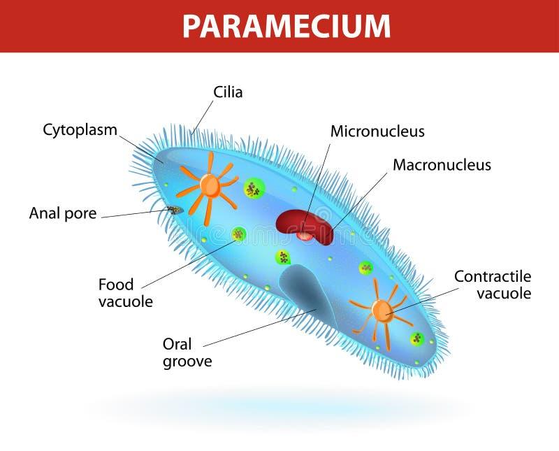 Estructura de un paramecium stock de ilustración
