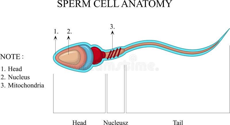 Estructura de una célula de esperma ilustración del vector