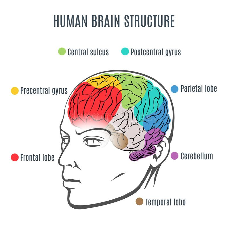 Estructura del cerebro humano ilustración del vector