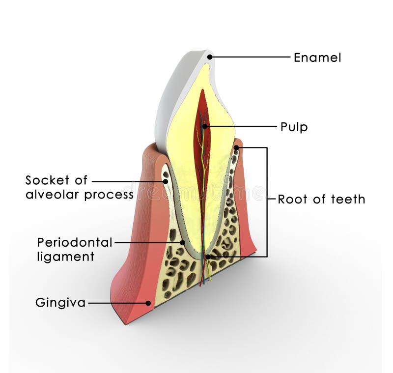 Estructura del diente ilustración del vector