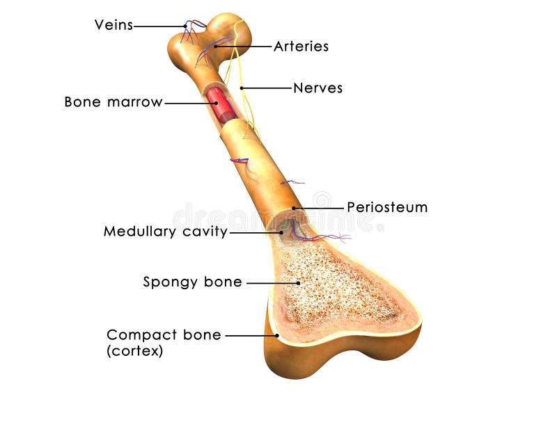 Estructura del hueso ilustración del vector