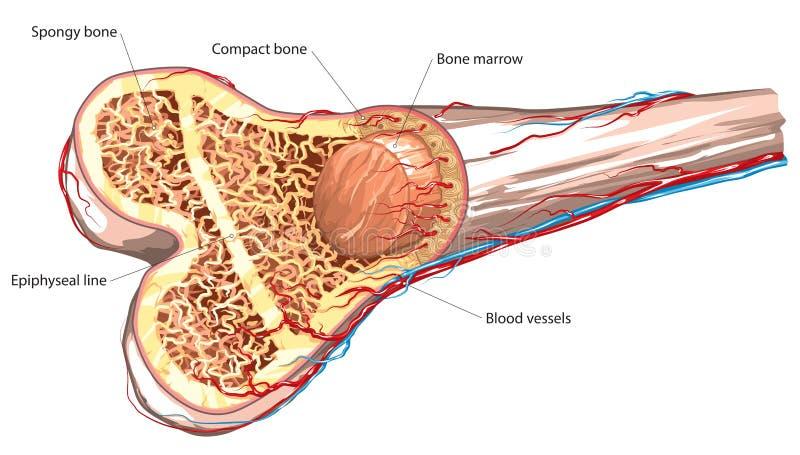Estructura del hueso stock de ilustración