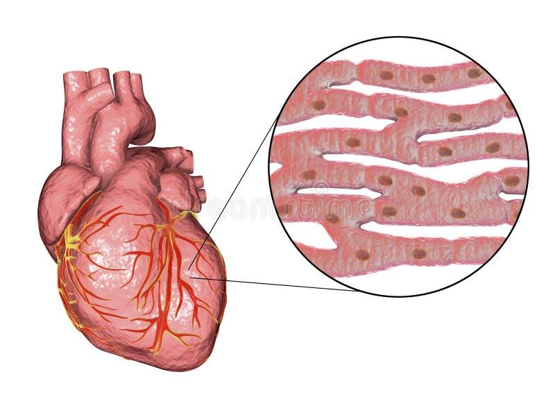 Estructura Del Músculo Cardíaco Stock de ilustración - Ilustración ...