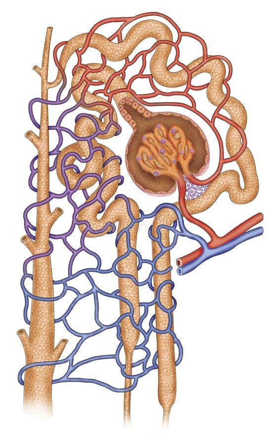 Estructura del nefron royaltyfri illustrationer