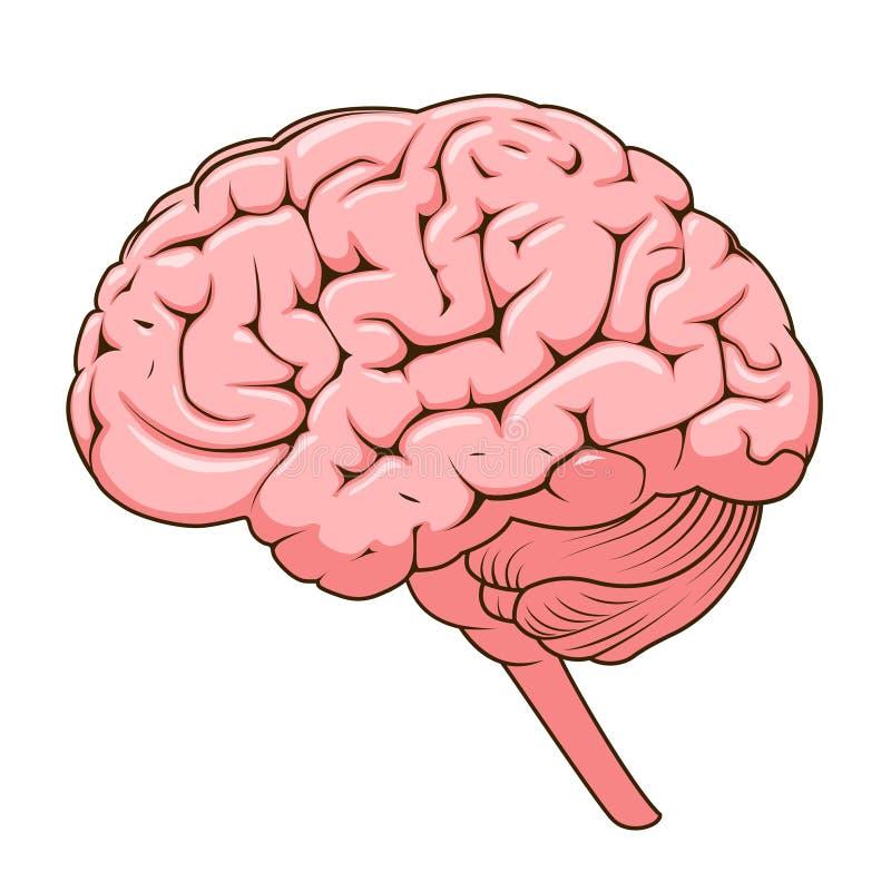 Estructura del vector del diagrama esquemático del cerebro humano ilustración del vector