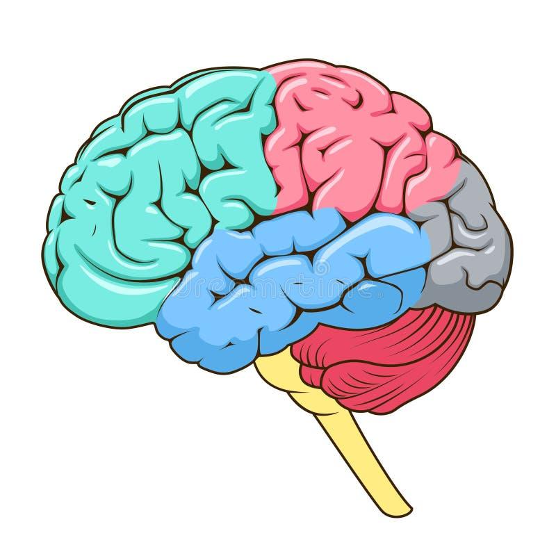 Estructura del vector del diagrama esquemático del cerebro humano stock de ilustración