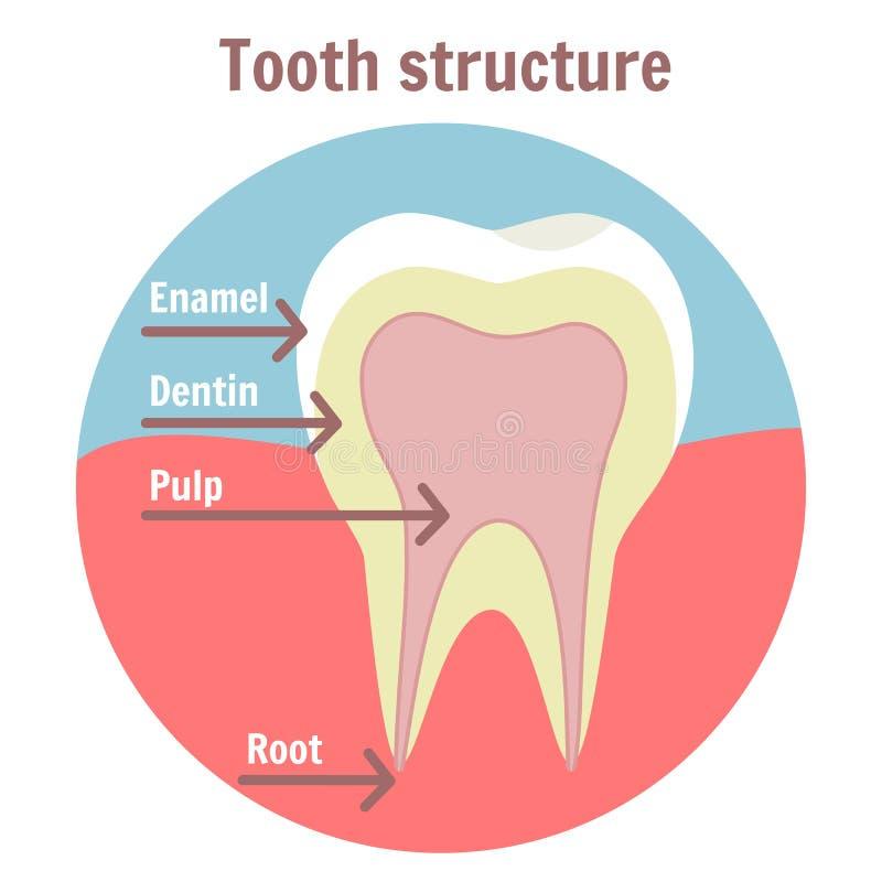 Estructura dental del diente Diagrama médico de la estructura del diente humano stock de ilustración