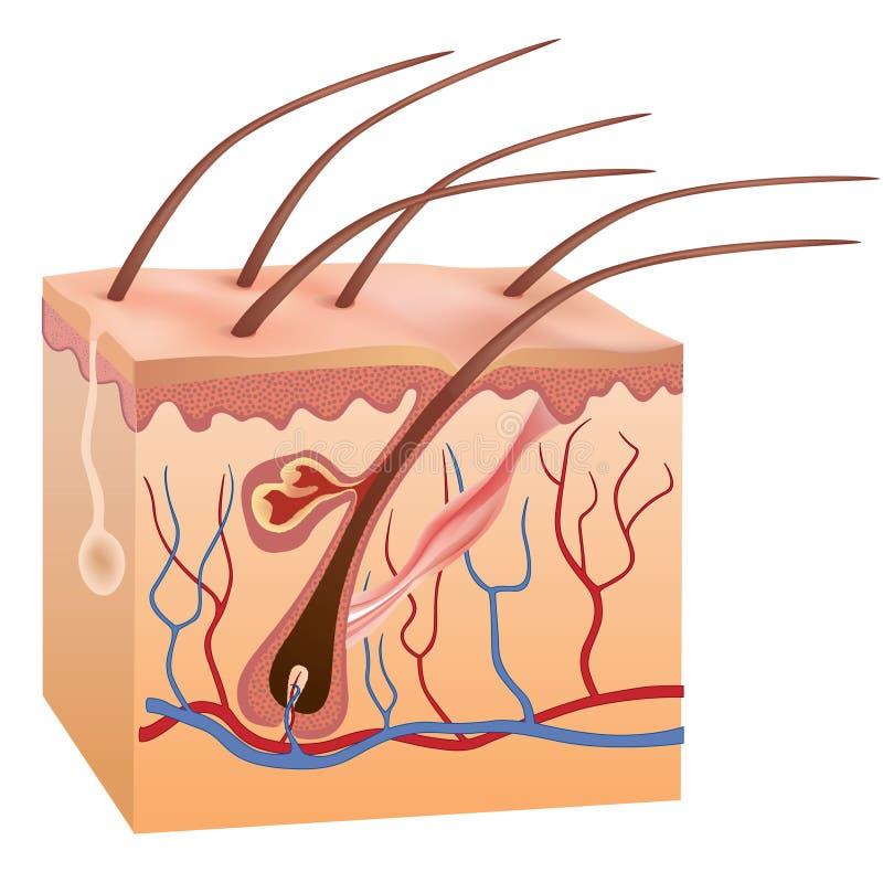 Estructura humana de la piel y del pelo. Ejemplo del vector. stock de ilustración