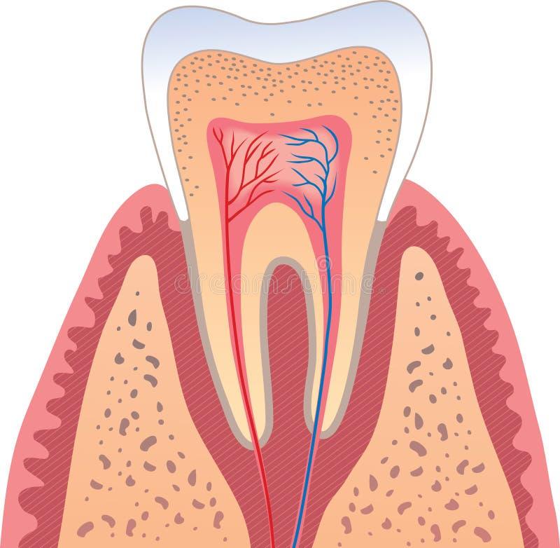 Estructura humana del diente stock de ilustración