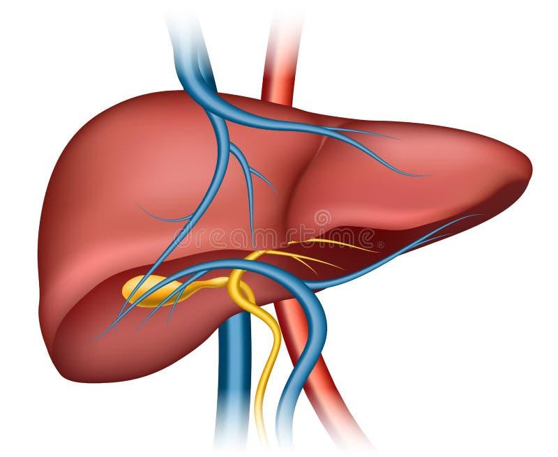 Estructura humana del hígado stock de ilustración
