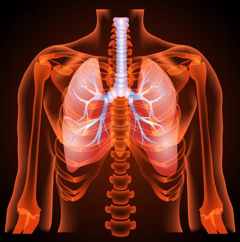 Estructura médica de los pulmones, anatomía ilustración del vector