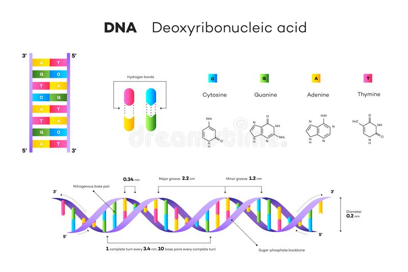 Estructura molecular de la DNA Ejemplo educativo del vector de Infographic stock de ilustración