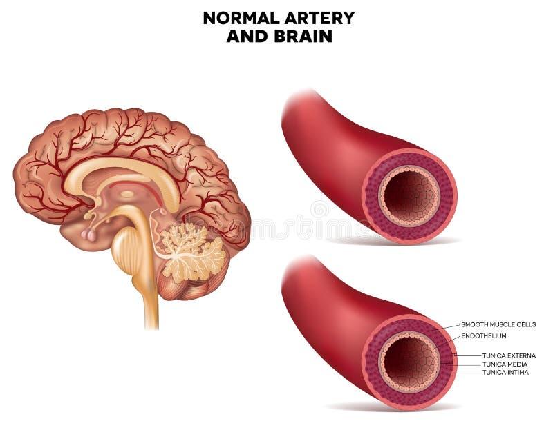 Estructura normal y cerebro de la arteria ilustración del vector