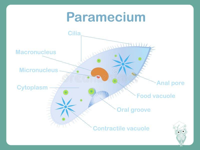 Estructure el esquema del Paramecium para las lecciones de la biología de la escuela stock de ilustración