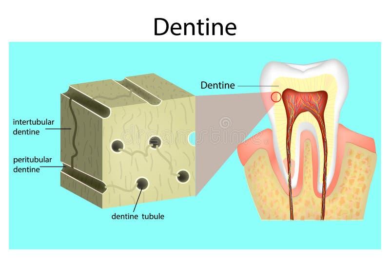 Estrutura da dentina ilustração do vetor