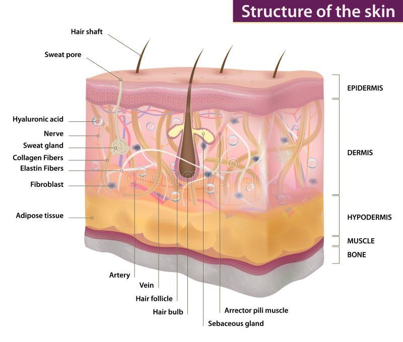Estrutura da pele, medicina, descrição completa, ilustração do vetor ilustração do vetor