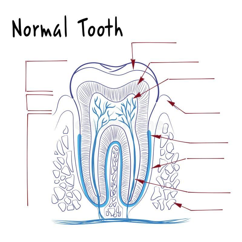 A estrutura de um dente humano normal ilustração do vetor