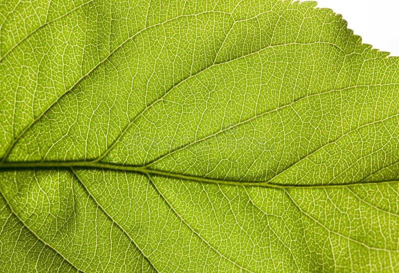 Estrutura de uma folha verde imagens de stock