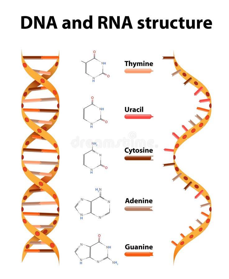 Estrutura do ADN e do RNA ilustração royalty free