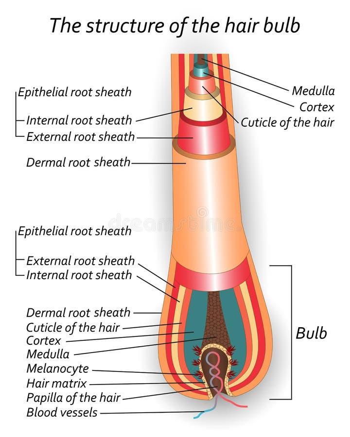 A estrutura do bulbo do cabelo, cartaz anatômico do treinamento, ilustração do vetor ilustração royalty free