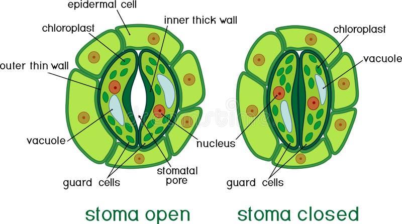 Estrutura do complexo stomatal com estoma aberto e fechado com títulos ilustração stock