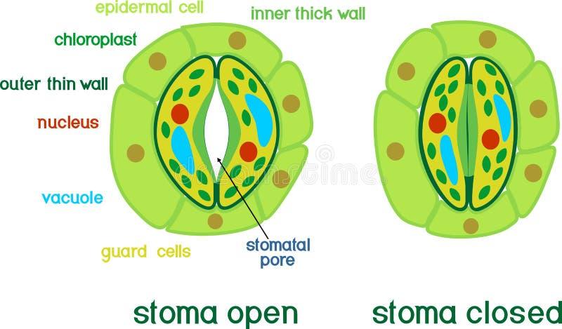 Estrutura do complexo stomatal com estoma aberto e fechado com títulos ilustração royalty free