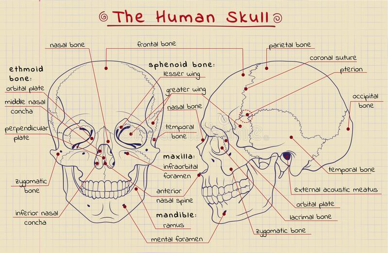 Estrutura do crânio ilustração royalty free