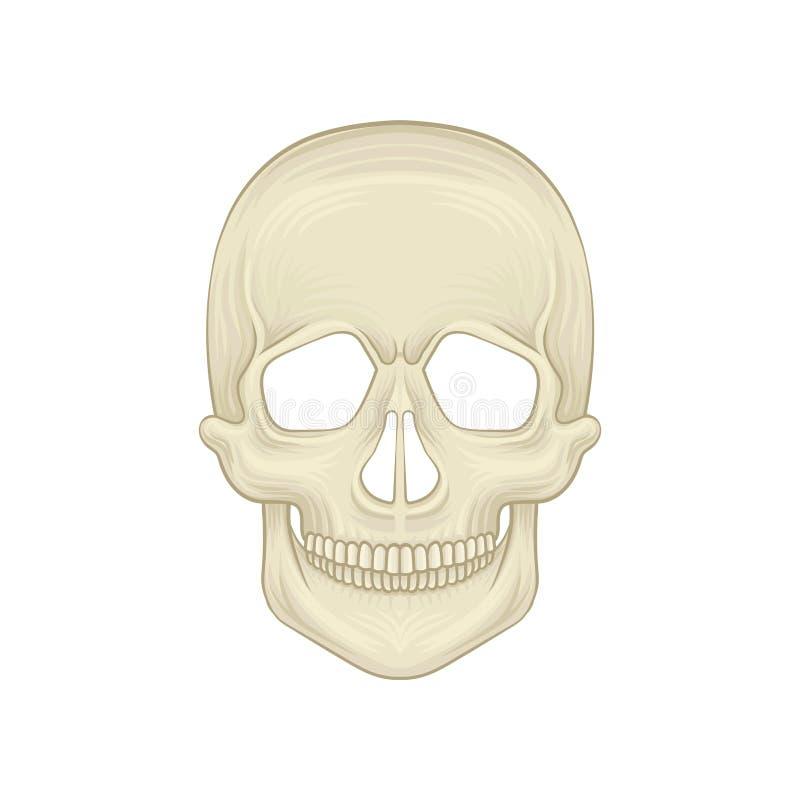 Estrutura do crânio humano - peça óssea da cabeça Ícone dos desenhos animados no estilo liso Caixa craniana de homo sapiens moder ilustração royalty free