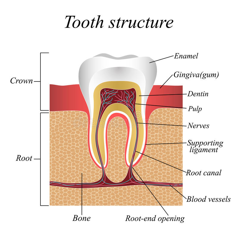 Estrutura do dente, cartaz anatômico médico de formação, ilustração do vetor ilustração do vetor