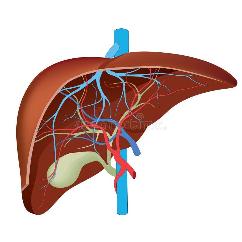 Estrutura do fígado humano. ilustração do vetor