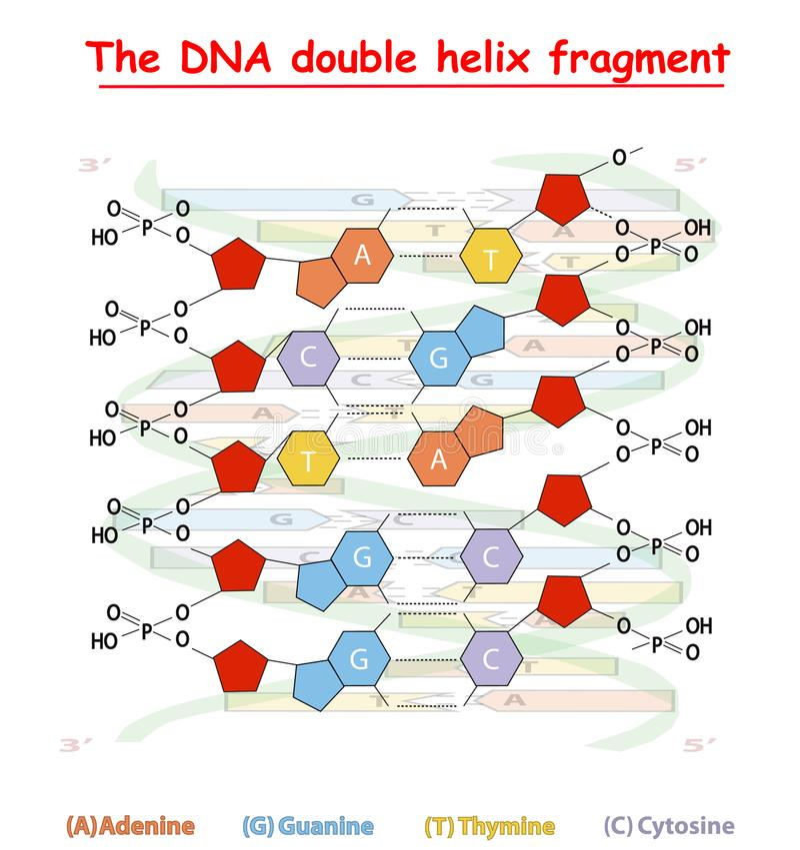 Estrutura do fragmento da hélice dobro do ADN: Nucleotide, fosfato, açúcar, e bases Gráfico da informação da educação do ADN ilustração royalty free