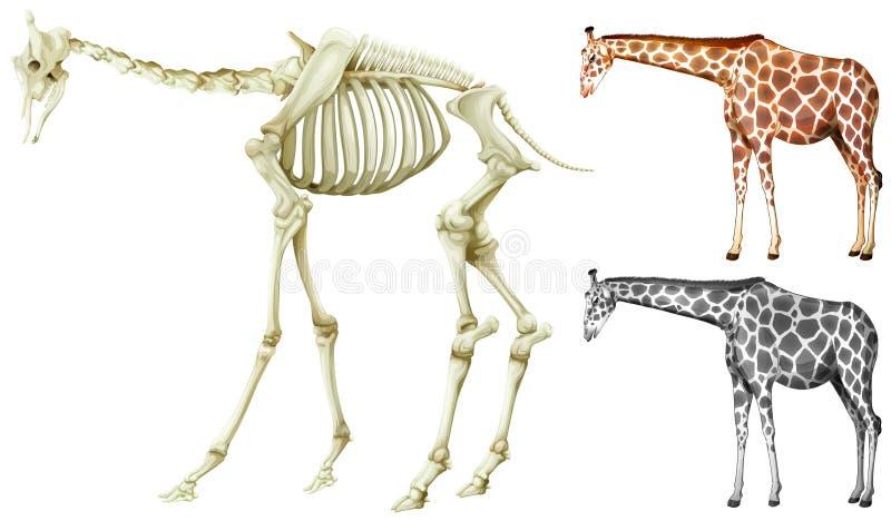 Estrutura do girafa e do osso ilustração do vetor