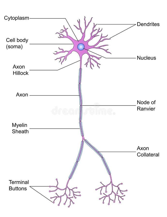 Estrutura do neurônio ilustração do vetor
