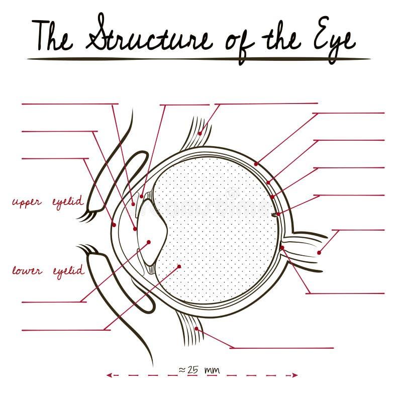 A estrutura do olho humano ilustração do vetor