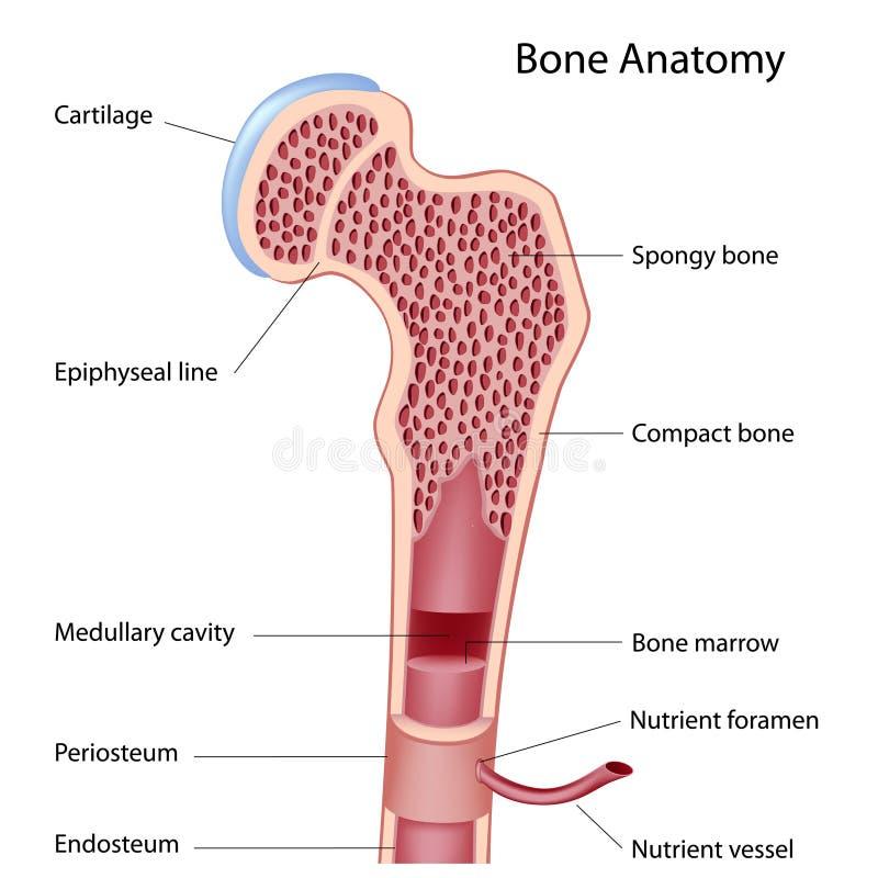 Estrutura do osso ilustração do vetor