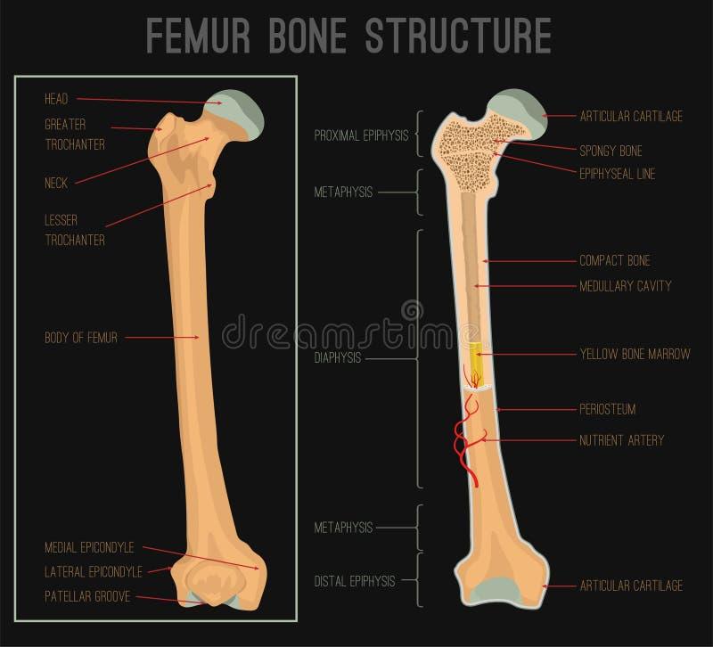 Estrutura do osso do fêmur ilustração stock
