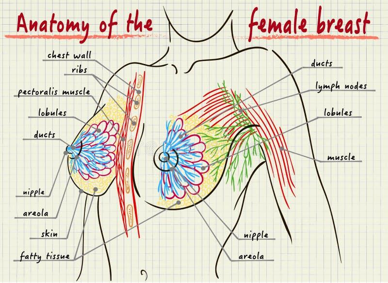 Estrutura do peito fêmea ilustração royalty free