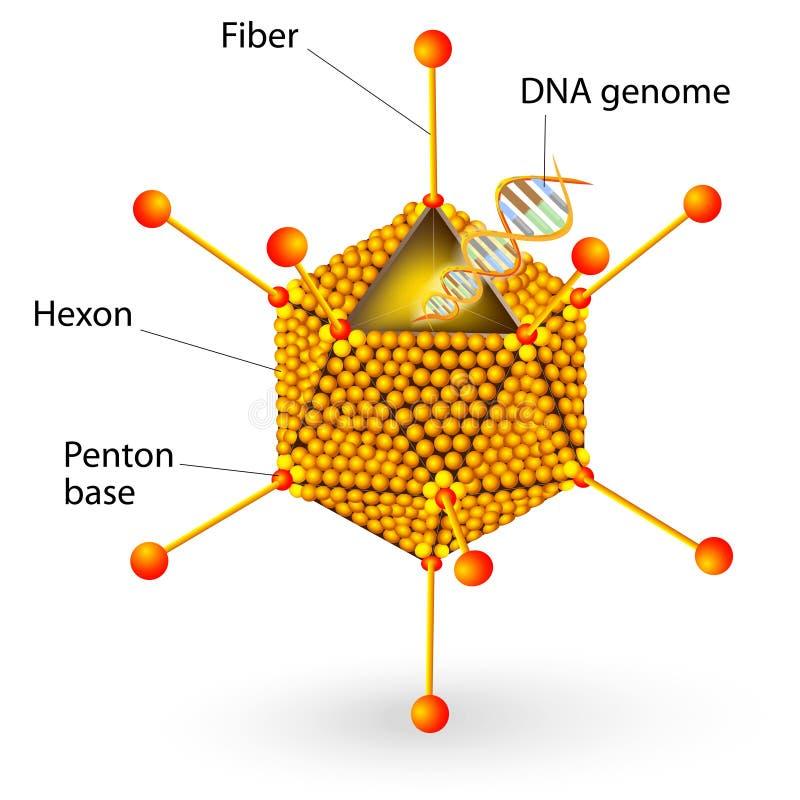 Estrutura do vírus adenoide. Diagrama do vetor ilustração stock